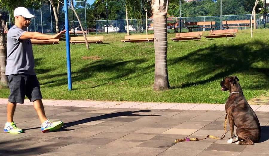 Cão da raça Boxer obedecendo ao comando FICA numa praça em Porto Alegre!