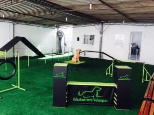 Cão da raça Golden Retriever no percurso de esporte canino agility!